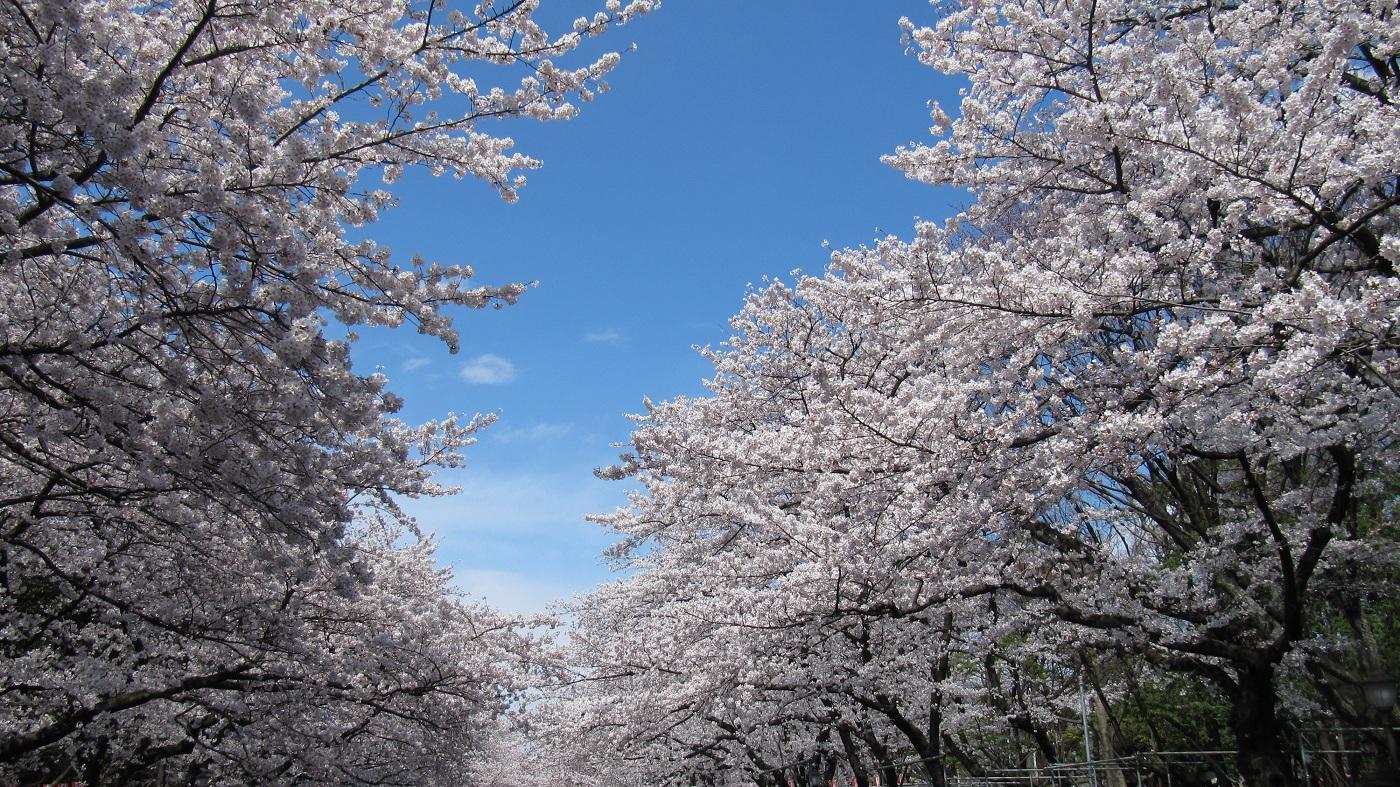 上野公園の桜を見るときポイントとより楽しむ為のコツ